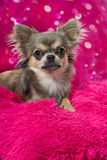 Pink chihuahua Stock Images