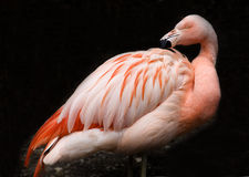 Pink Chilean Flamingo against Black Background Royalty Free Stock Photos