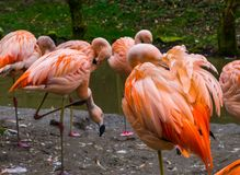 Pink Chilean Flamingo cleaning its feathers, Family of Flamingos together, Near threatened bird specie. A Pink Chilean Flamingo cleaning its feathers, Family of stock image
