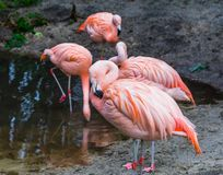 Pink Chilean flamingo in closeup with its bird family in the background, tropical and colorful birds from America. A pink Chilean flamingo in closeup with its stock images