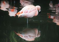 Pink Chilean Flamingo (Phoenicopterus Chilensis) Stood on One Leg with Reflection Stock Photo