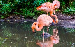 Pink chilean flamingo standing on one leg in the water, popular zoo bird from chili, Near threatened animal specie. A pink chilean flamingo standing on one leg royalty free stock photo