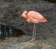 Pink chilean flamingo standing at the water side cleaning its feathers, near threatened tropical bird from America. A pink chilean flamingo standing at the water stock images