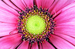 Pink china aster macro Royalty Free Stock Image