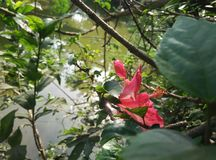 Pink china flower on pond side Stock Images