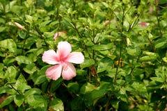 Pink China Rose Royalty Free Stock Image