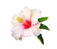 Pink Chinese hibiscus. Chinese hibiscus Isolated Stock Images