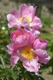 Pink Chinese peonies flowers Stock Photo