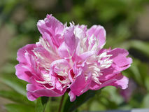 Pink Chinese peony flower Royalty Free Stock Image