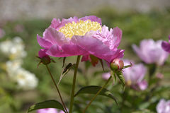 Pink Chinese peony flower Stock Photo