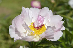 Pink Chinese peony flower Stock Images
