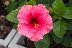Pink chinese rose Stock Photo