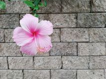 Pink Chinese rose or Hibiscus Rosa sinensis on wall backgroud royalty free stock image
