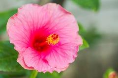 Pink chinese rose Stock Image