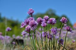 Pink chive flowers Stock Image