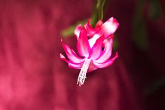 Pink Christmas Cactus blooming on white background royalty free stock photography