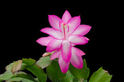 Pink Christmas Cactus (schlumbergera) Royalty Free Stock Photos