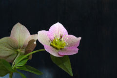 Free Pink Christmas Rose Hellebore Niger Flowers Royalty Free Stock Photo - 39405185