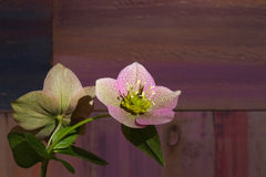 Free Pink Christmas Rose Hellebore Niger Flowers Stock Photography - 39405292
