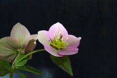 Pink Christmas rose Hellebore niger flowers. On dark grey background royalty free stock photo