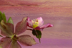 Pink Christmas rose Hellebore niger flowers Royalty Free Stock Photos