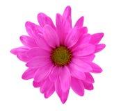 Pink chrysanthe mum Royalty Free Stock Photography