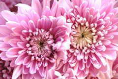 Pink chrysanthemium flowers. Close up photo of beautiful chrysanthemium flowers: tender and pure pink and white flowers, light thin petals, soft light conditions Royalty Free Stock Images
