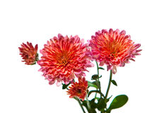 Pink Chrysanthemum Royalty Free Stock Photos