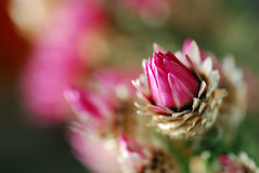 Pink Chrysanthemum. With brown torus Stock Image
