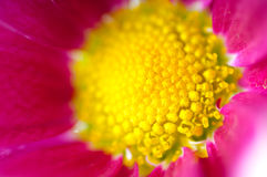 Pink chrysanthemum Royalty Free Stock Photography