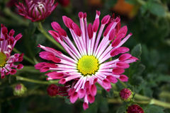 Pink Chrysanthemum. Pink,  Spoon Chrysanthemums, Fantasy, North West, Garden, Cheerful, Blue Sky Stock Photography