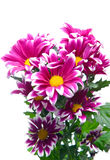 Pink chrysanthemum Stock Photos