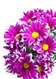 Pink chrysanthemum. Stock Photos