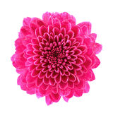Pink Chrysanthemum Royalty Free Stock Photography