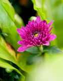 Pink chrysanthemum Stock Photo