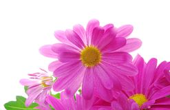 Pink chrysanthemum Stock Images