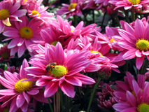 Pink chrysanthemum. Close up of pink chrysanthemum with a bee on it Stock Photography
