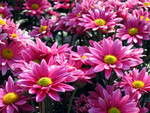 Pink chrysanthemum Stock Photography