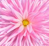 Pink_chrysanthemum Fotografia Stock Libera da Diritti