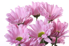 Pink chrysanthemum. Royalty Free Stock Photo
