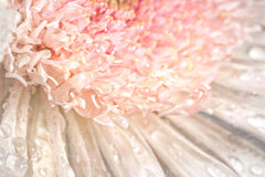 Pink chrysanthemum with antique distress Royalty Free Stock Images