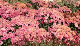 Pink Chrysanthemum in the autumn garden Royalty Free Stock Photo