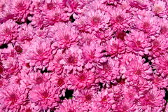 Pink Chrysanthemum Background. Full-page splash of pink chrysanthemums Stock Image