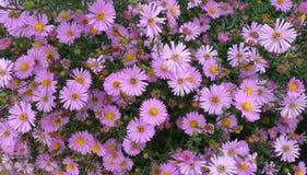 Pink chrysanthemum background. Pink chrysanthemum flowers background Royalty Free Stock Images