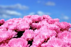Pink chrysanthemum bouquet Stock Images