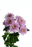 Pink chrysanthemum bush Royalty Free Stock Images