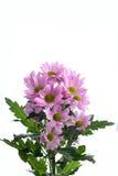 Pink chrysanthemum bush Royalty Free Stock Photo