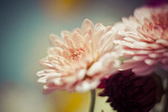 Pink chrysanthemum on calm background Royalty Free Stock Photos