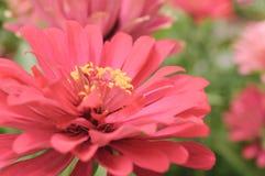 Pink Chrysanthemum In Close Up View. Pink Pastel Chrysanthemum With Yellow Pollens In Close Up Macro View Royalty Free Stock Photo