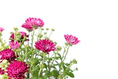 Pink chrysanthemum in corner of white background Stock Images
